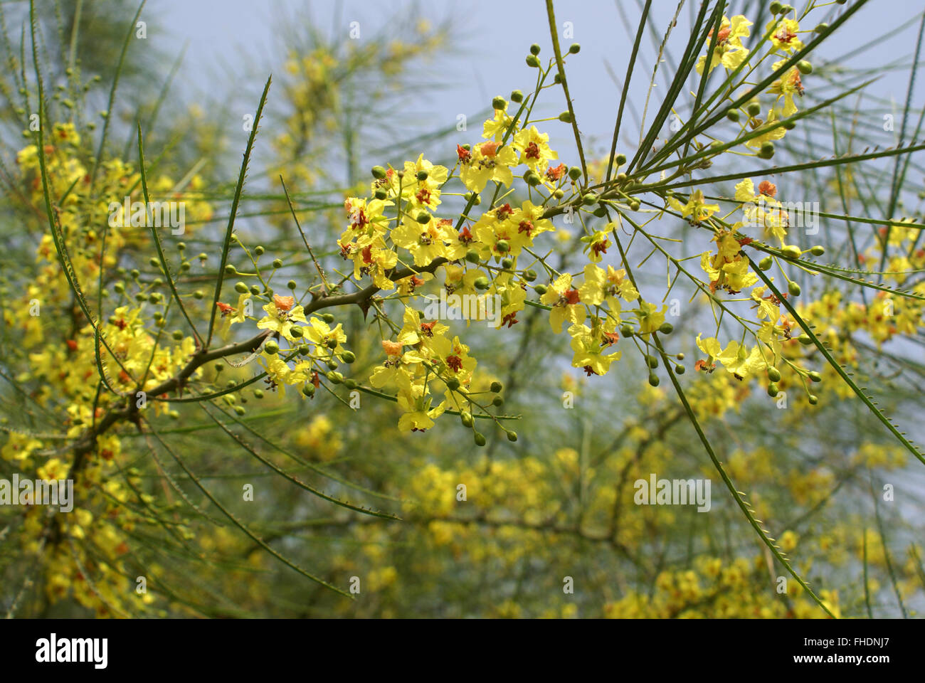 Yellow Flowers Palo Verde Tree Stock Photos Yellow Flowers Palo