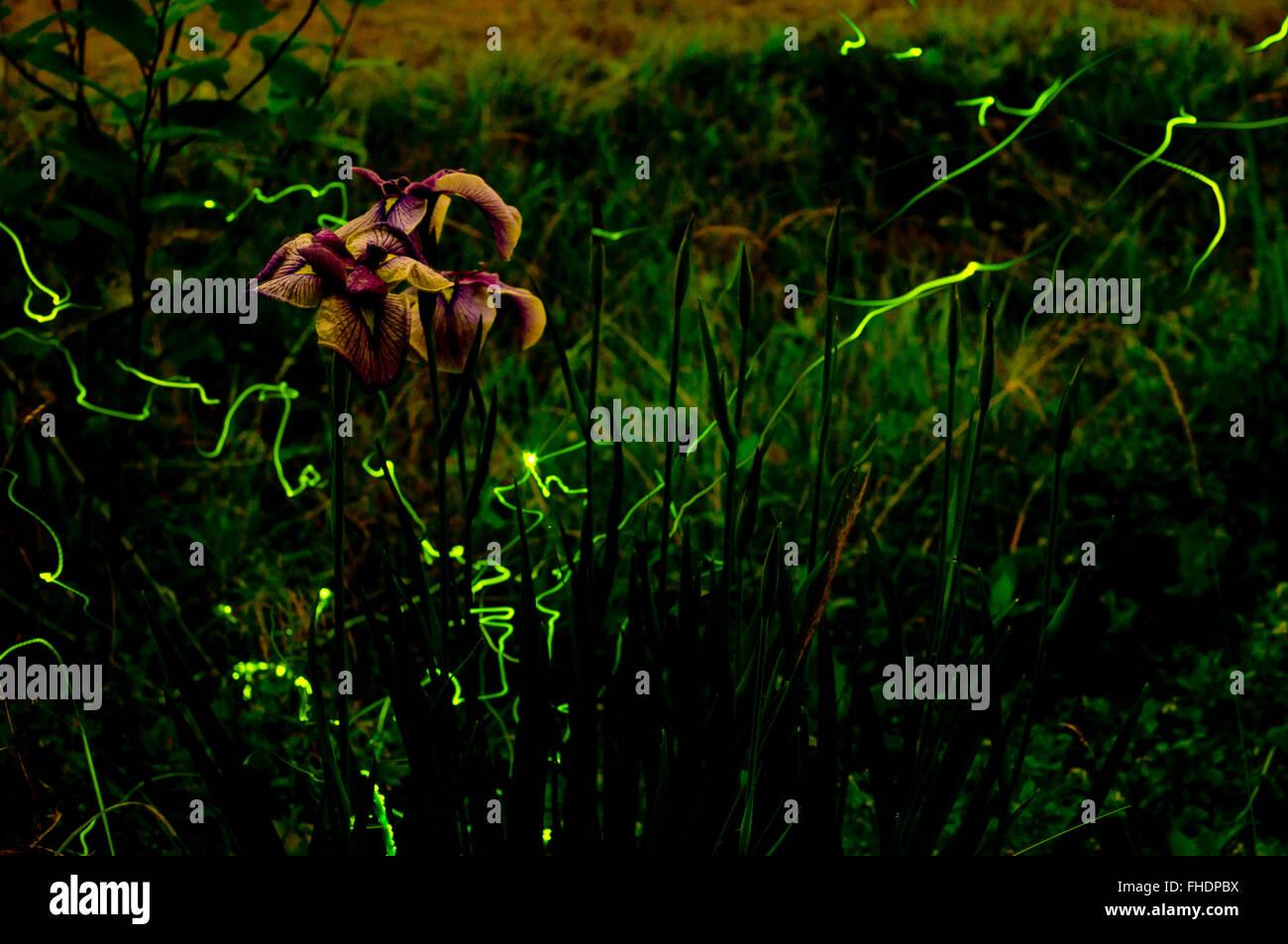 Fireflies - Stock Image