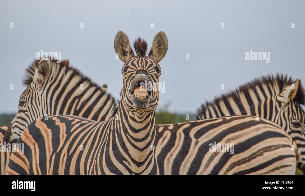A toothy Zebra appears to be laughing at us - Stock Image