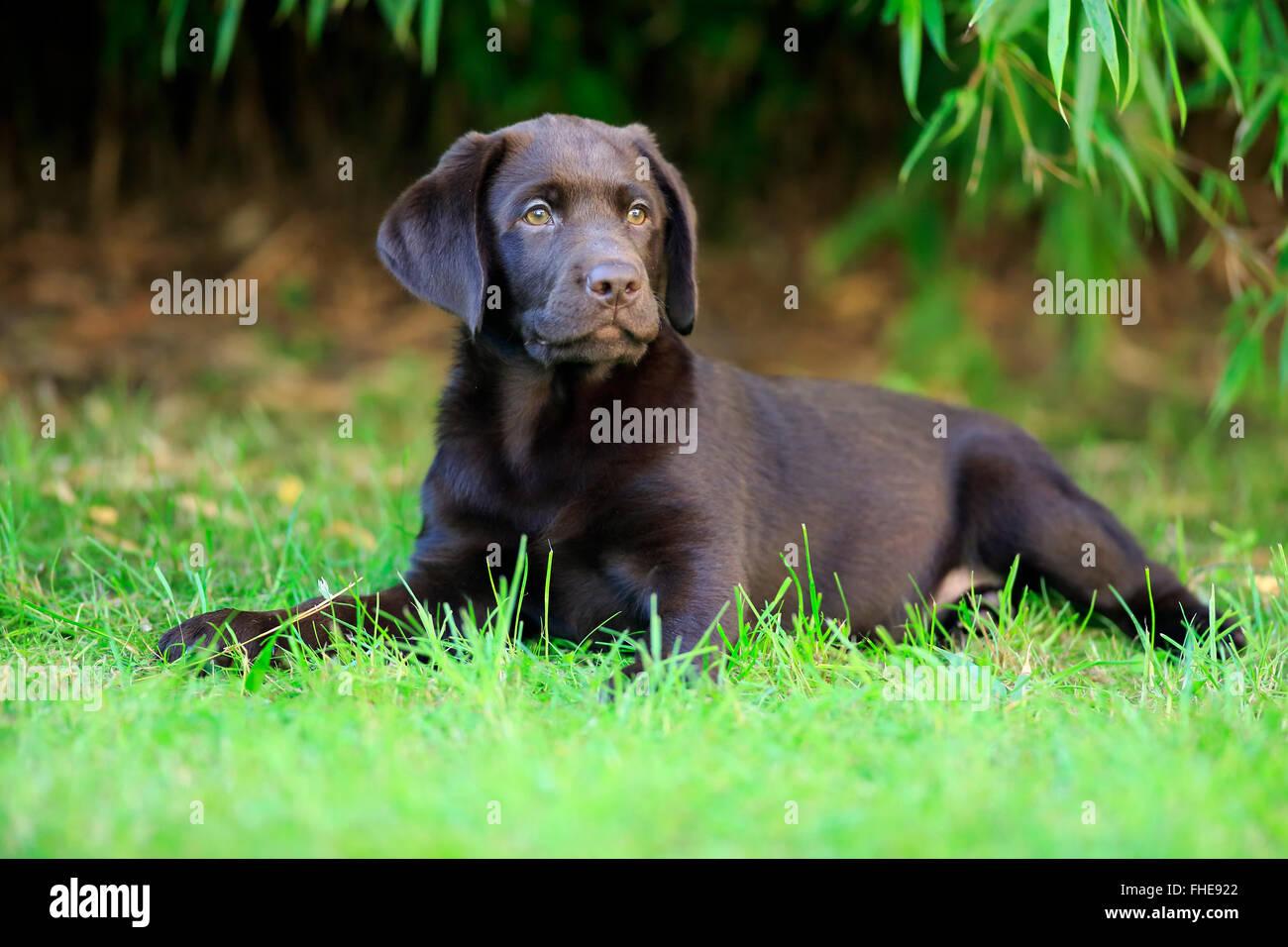 Labrador retriever, young, Germany, Europe / (Canis lupus familiaris) - Stock Image