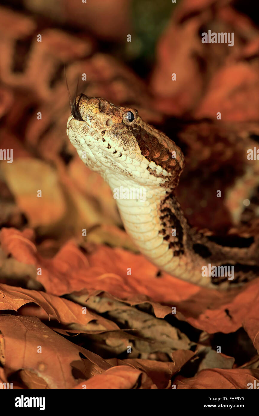 Timber Rattlesnake, USA, Northamerica / (Crotalus horridus) - Stock Image