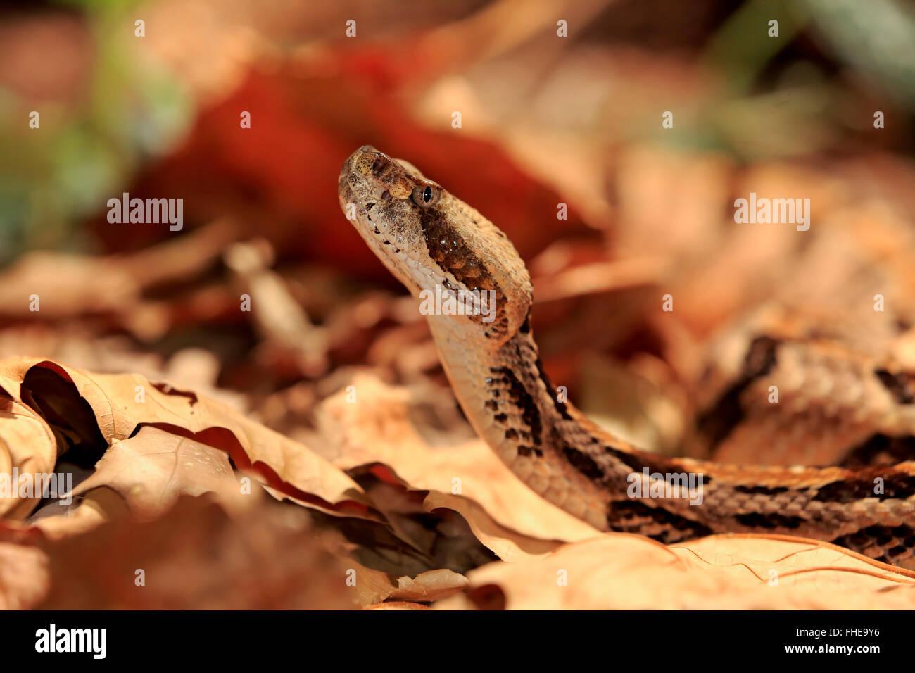 Timber Rattlesnake, adult, USA, Northamerica / (Crotalus horridus) - Stock Image