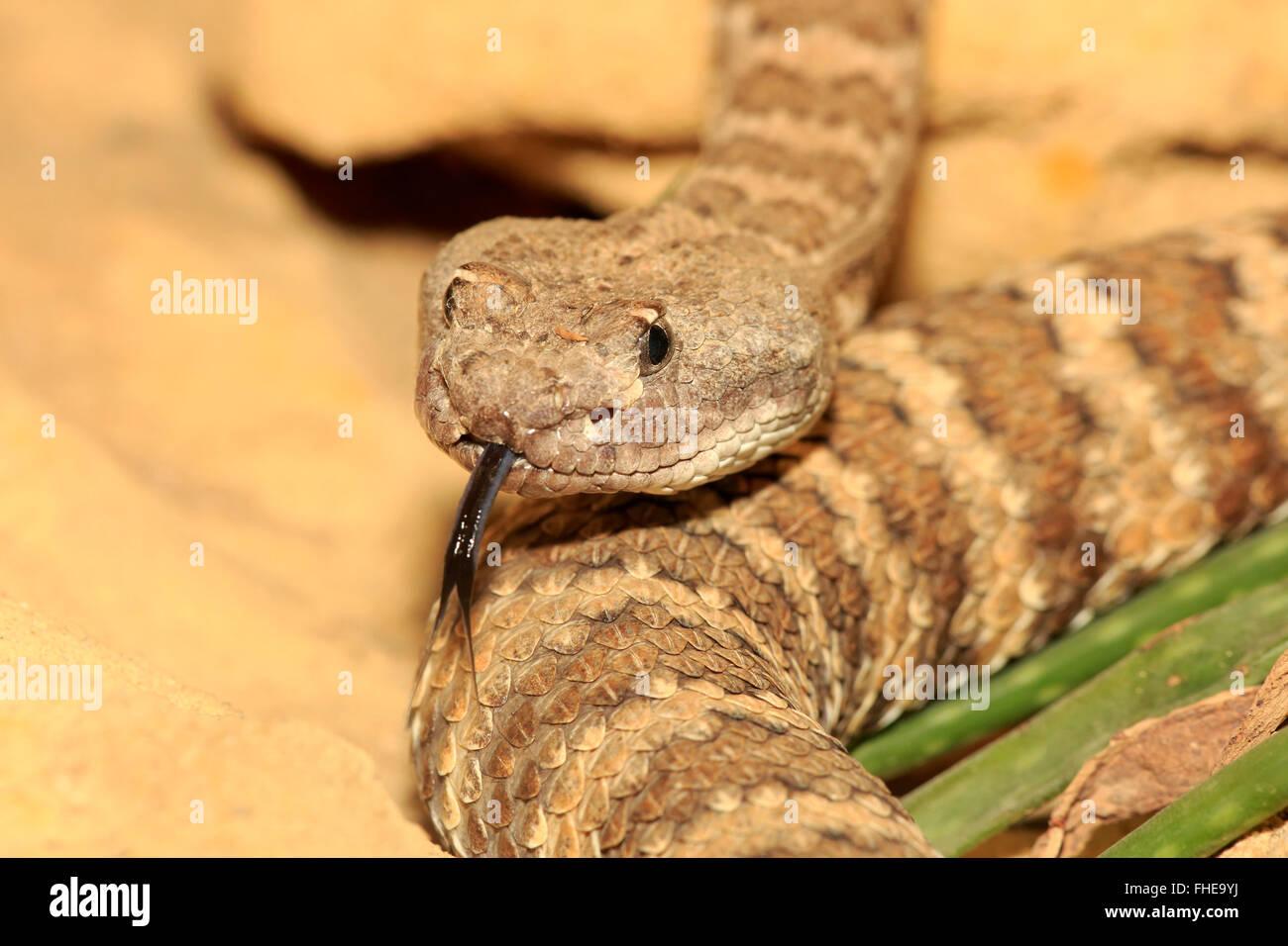 Prairie Rattlesnake, USA, Northamerica / (Crotalus viridis) - Stock Image