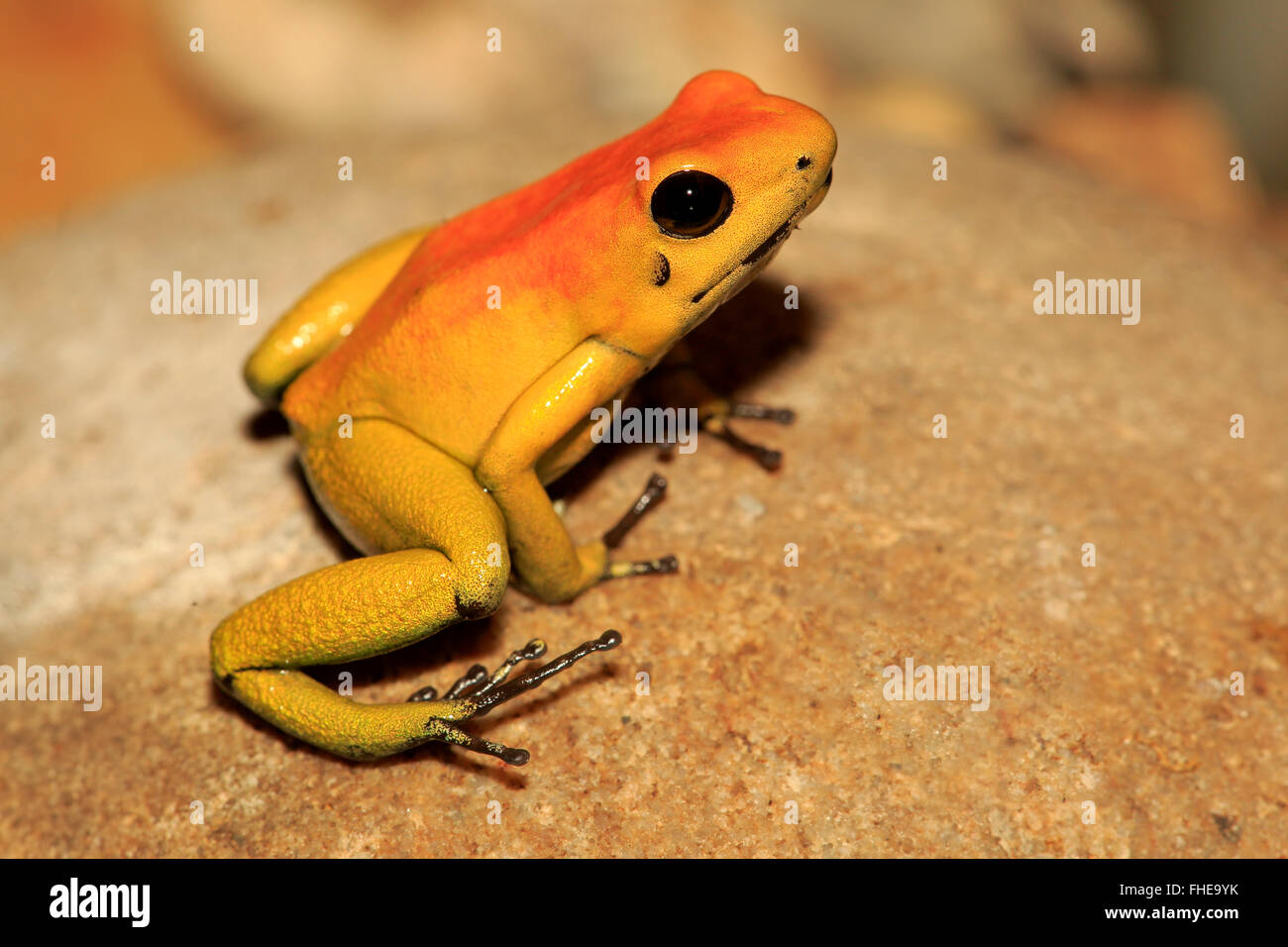 Black Legged Dart Frog, adult, South America / (Phyllobates bicolor) Stock Photo