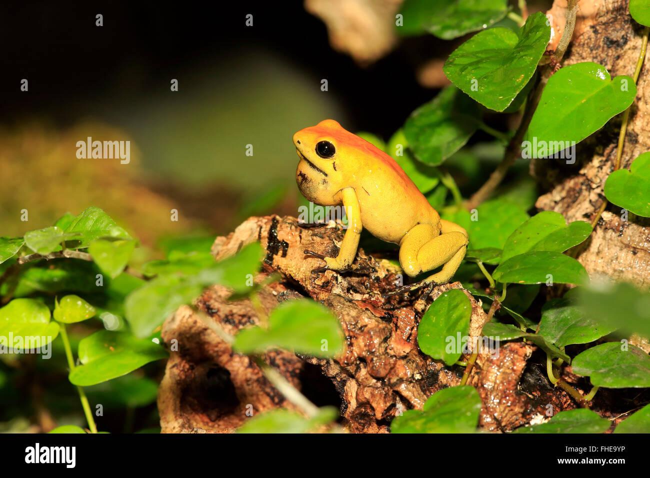 Black Legged Dart Frog, adult, South America / (Phyllobates bicolor) Stock Photo