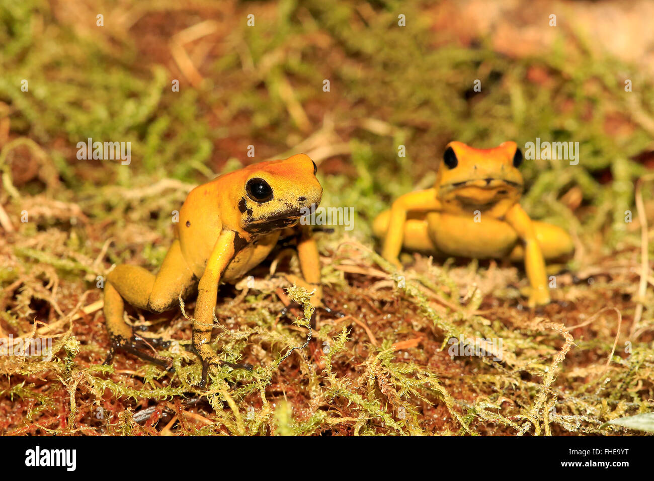 Black Legged Dart Frog, South America / (Phyllobates bicolor) - Stock Image