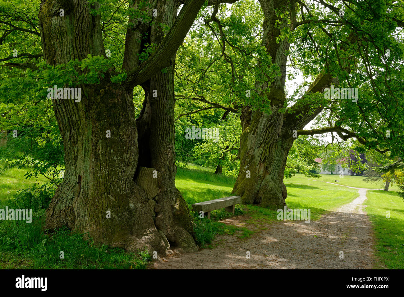Mighty oaks, old trees in the palace garden, Putbus, Rügen, Mecklenburg-Western Pomerania, Germany Stock Photo