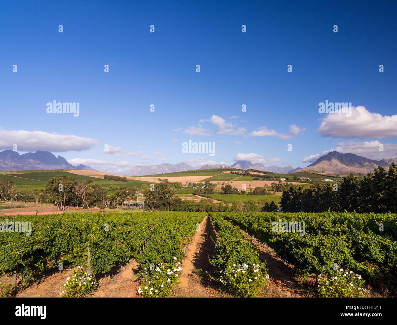 Vineyard in Stellenbosch, Western Cape, South Africa. - Stock Image