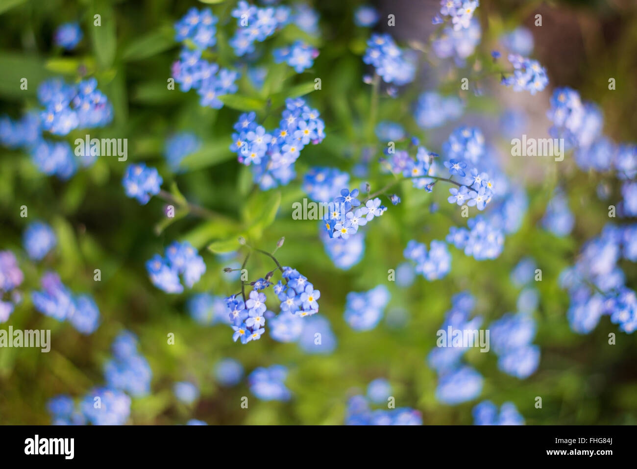 Close Up White Forget Me Not Flowers Stock Photos Close Up White