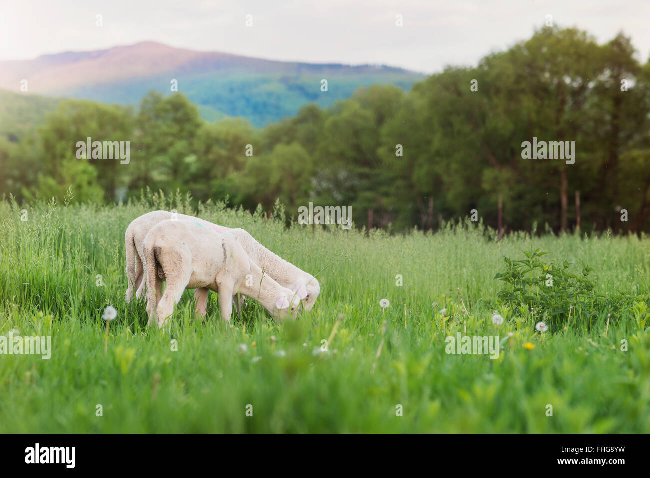 Two sheep grazing on meadow, green grass and trees - Stock Image