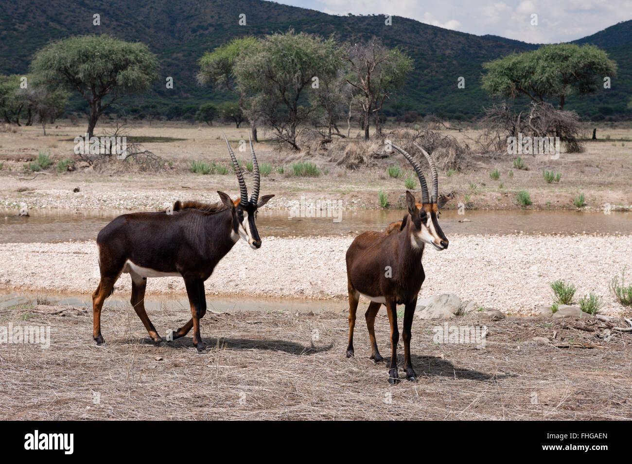 Pair of Sable Antilopes, Hippotragus niger, Namibia - Stock Image
