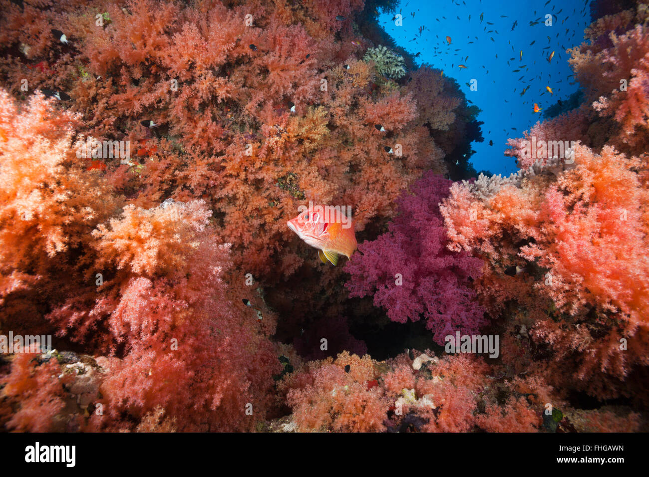 Colored Soft Coral Reef, Red Sea, Ras Mohammed, Egypt - Stock Image
