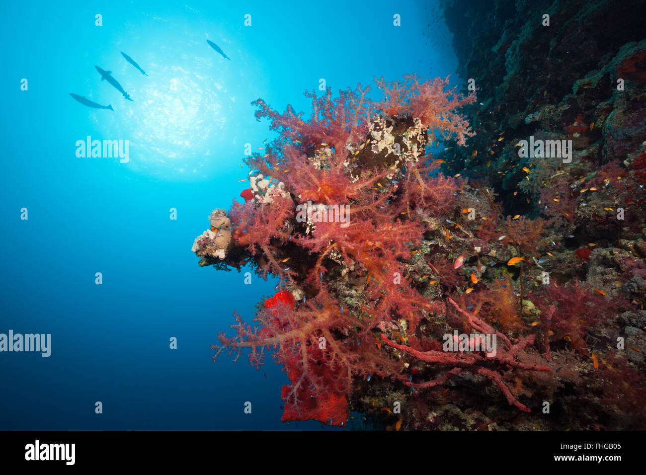 Colored Soft Coral Reef, Red Sea, Dahab, Egypt - Stock Image