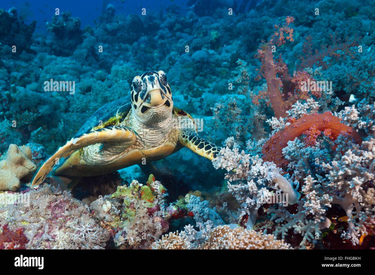 Hawksbill Sea Turtle, Eretmochelys imbricata, Red Sea, Ras Mohammed, Egypt - Stock Image