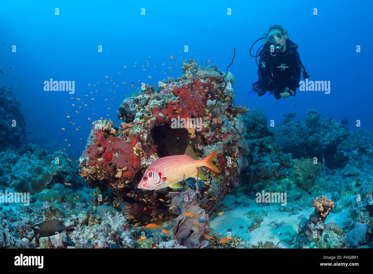 Scuba diver and Squirrelfish, Sargocentron spiniferum, Red Sea, Dahab, Egypt - Stock Image