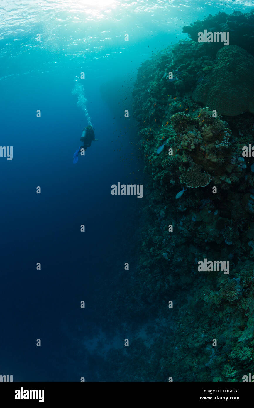 Scuba Diver and Coral Reef, Red Sea, Dahab, Egypt - Stock Image