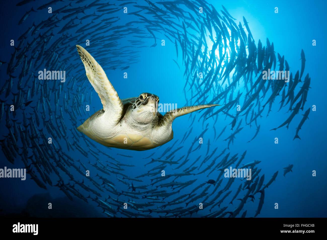 Green Sea Turtle and Shoal of Blackfin Barracuda, Chelonia mydas, Red Sea, Ras Mohammed, Egypt - Stock Image