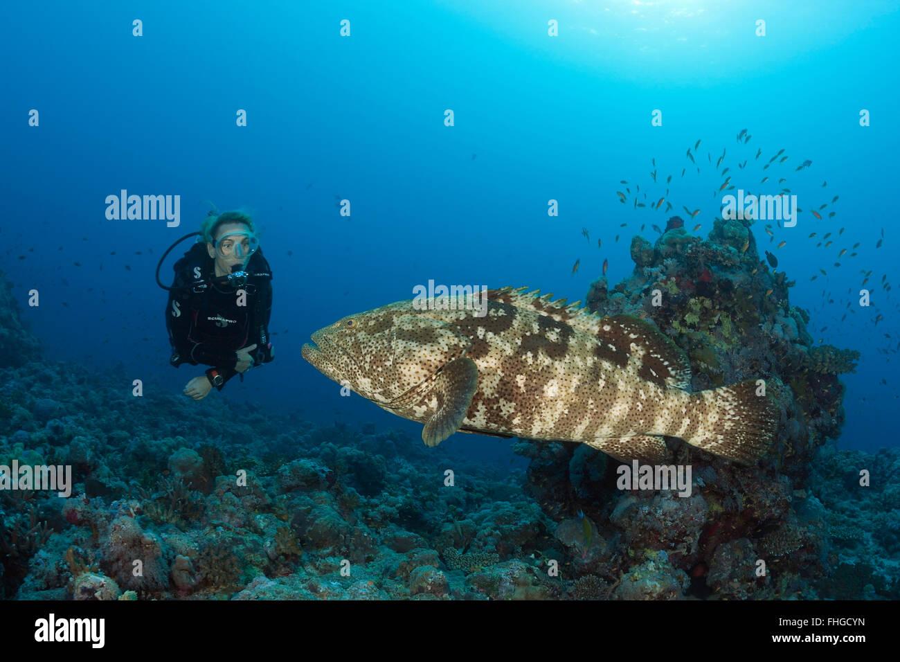Scuba Diver and Malabar Grouper, Epinephelus malabaricus, Red Sea, Ras Mohammed, Egypt - Stock Image