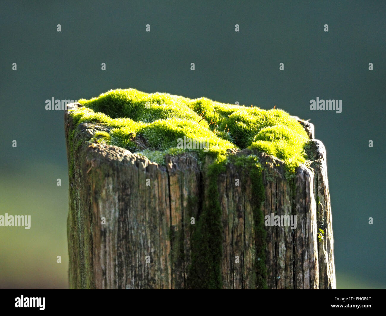 moss covered top of an old worn wooden fencepost in bright sunshine Stock Photo