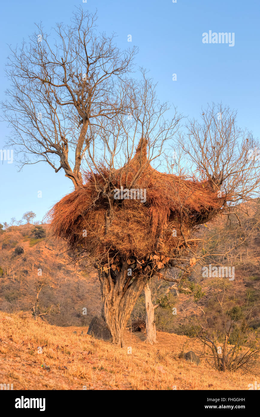hay laid to dry on a tree in rural Rajasthan, India - Stock Image