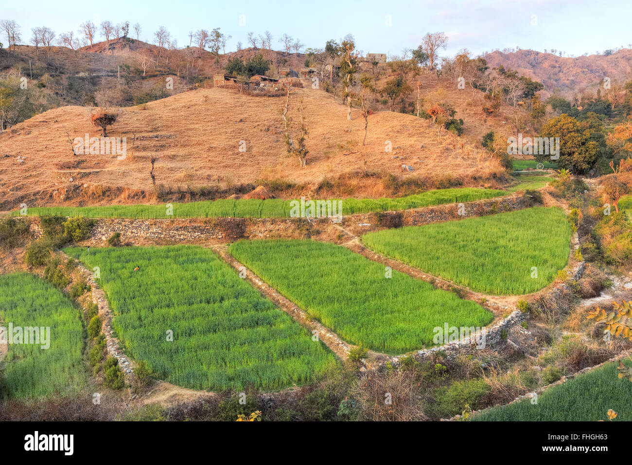 irrigiated weaht fields in the middle of the dry mountains of Rajasthan, India - Stock Image
