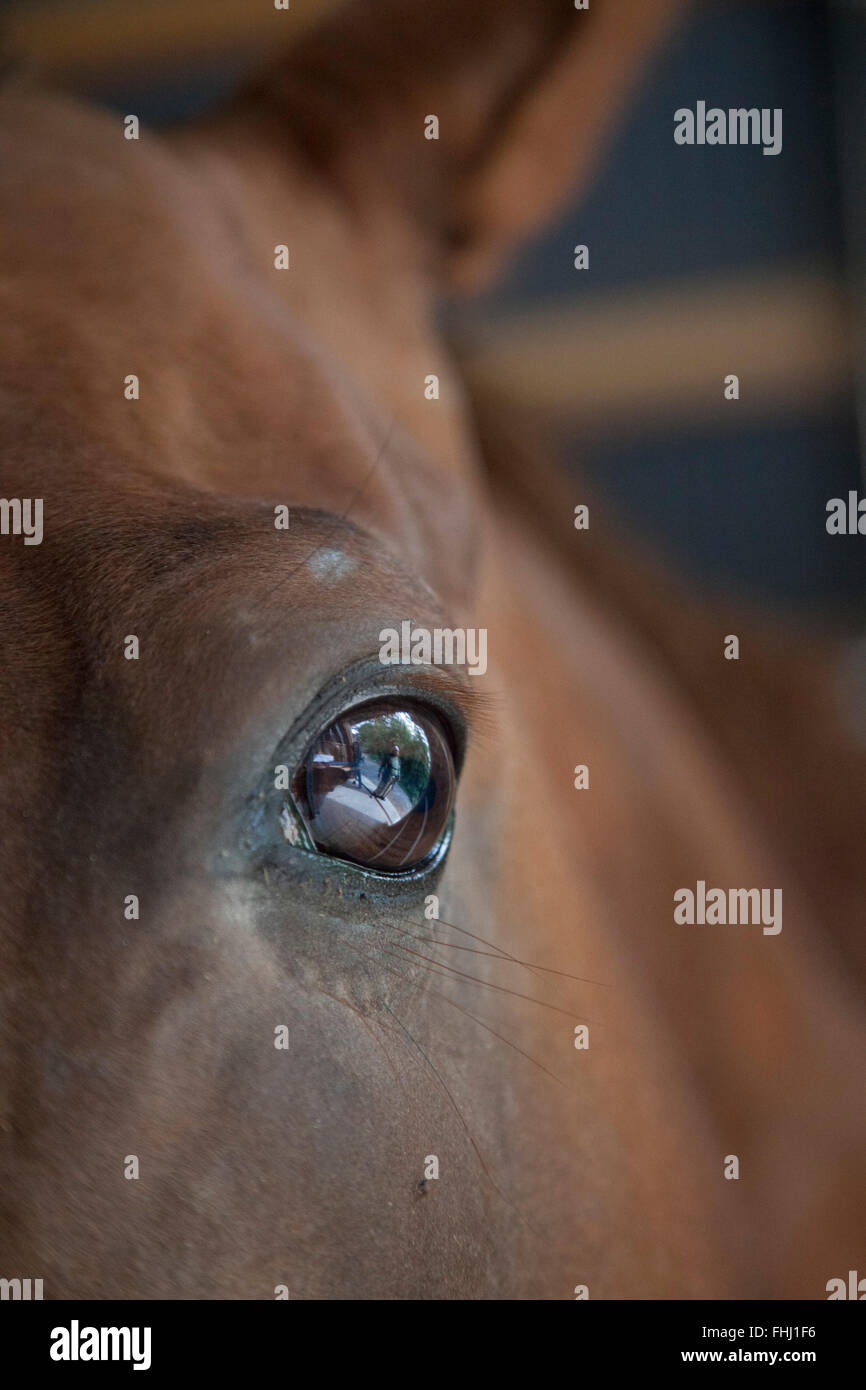 Japan / Fukushima  -  The number of horses that were washed away by the tsunami and those were abandoned at homes - Stock Image