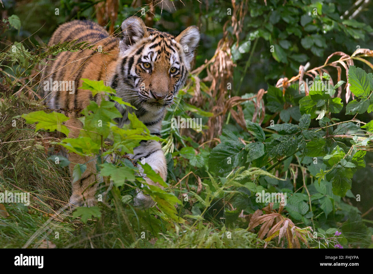 Amur tiger cub, 4 months old - Stock Image