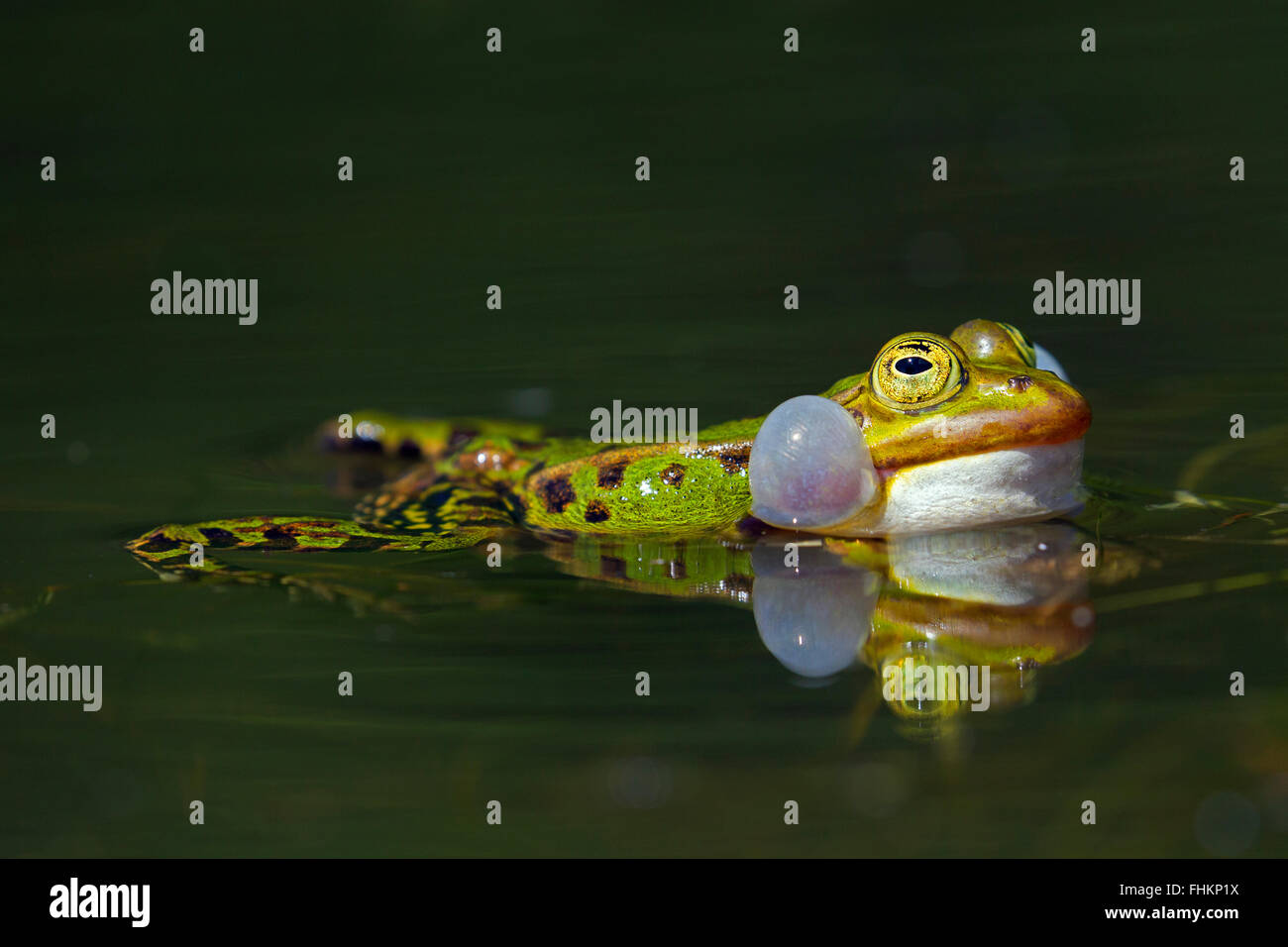 Edible frog / green frog (Pelophylax kl. esculentus / Rana kl. esculenta) male floating in pond showing inflated - Stock Image