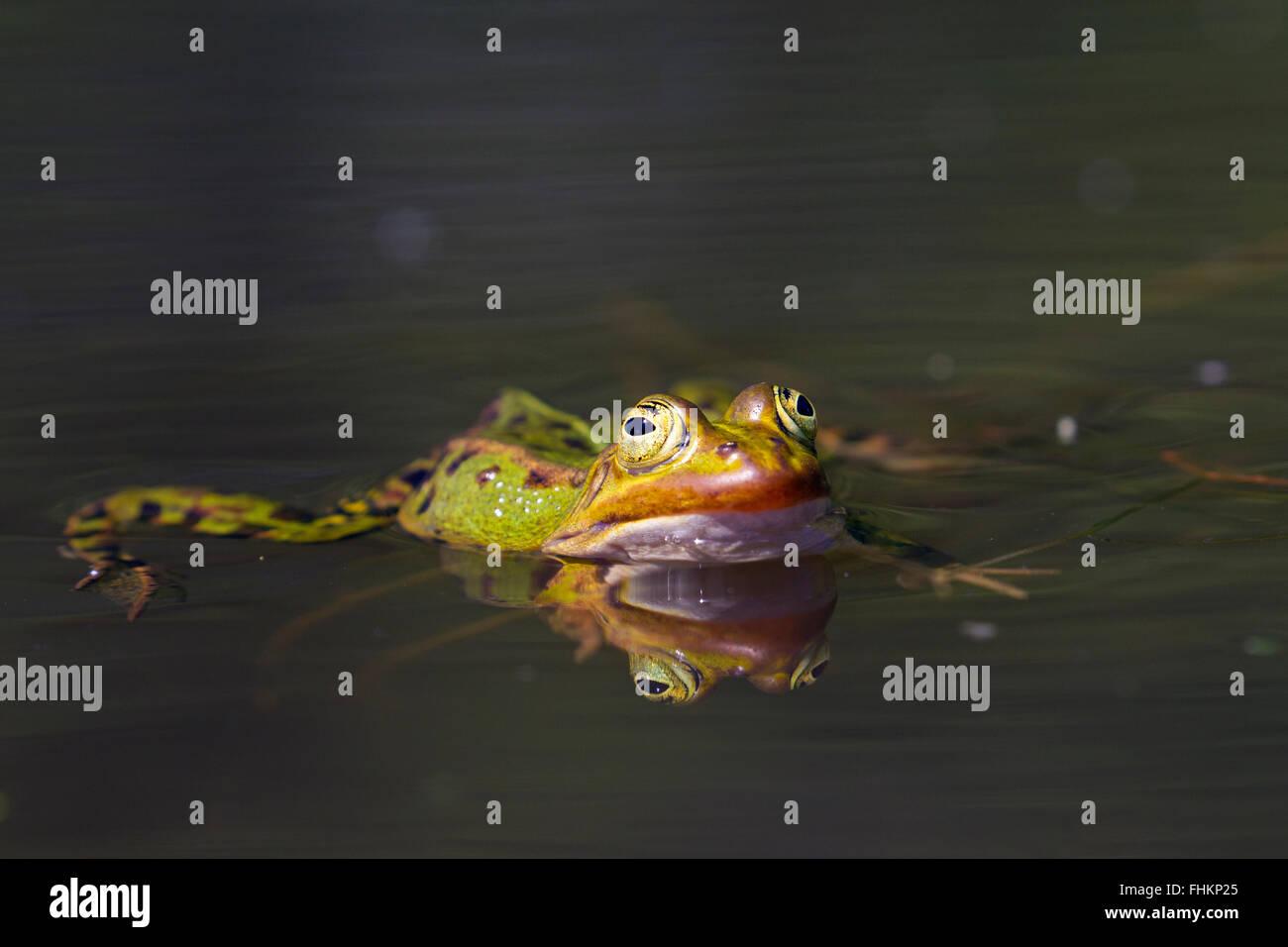 Edible frog / common water frog / green frog (Pelophylax kl. esculentus / Rana kl. esculenta) swimming in pond - Stock Image