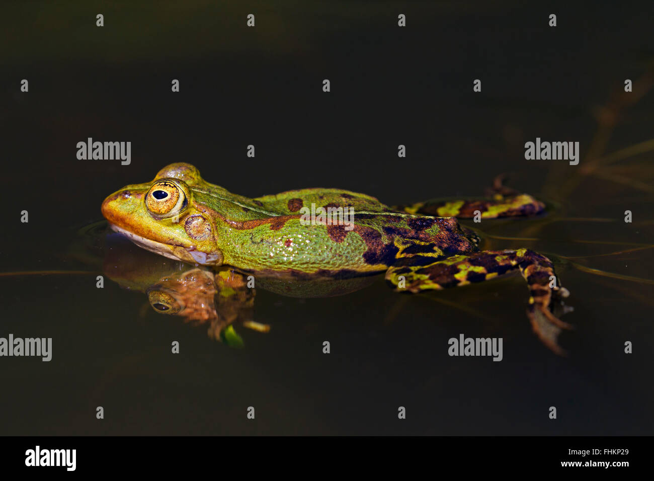Edible frog / common water frog / green frog (Pelophylax kl. esculentus / Rana kl. esculenta) swimming in pond - Stock Image