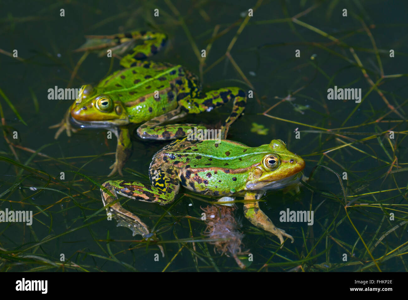 Two edible frogs / green frog (Pelophylax kl. esculentus / Rana kl. esculenta) floating in pond in the mating season - Stock Image