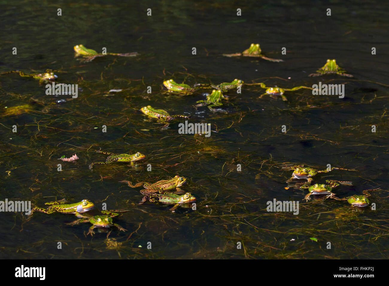 Edible frogs / green frog (Pelophylax kl. esculentus / Rana kl. esculenta) group floating in pond in the mating Stock Photo