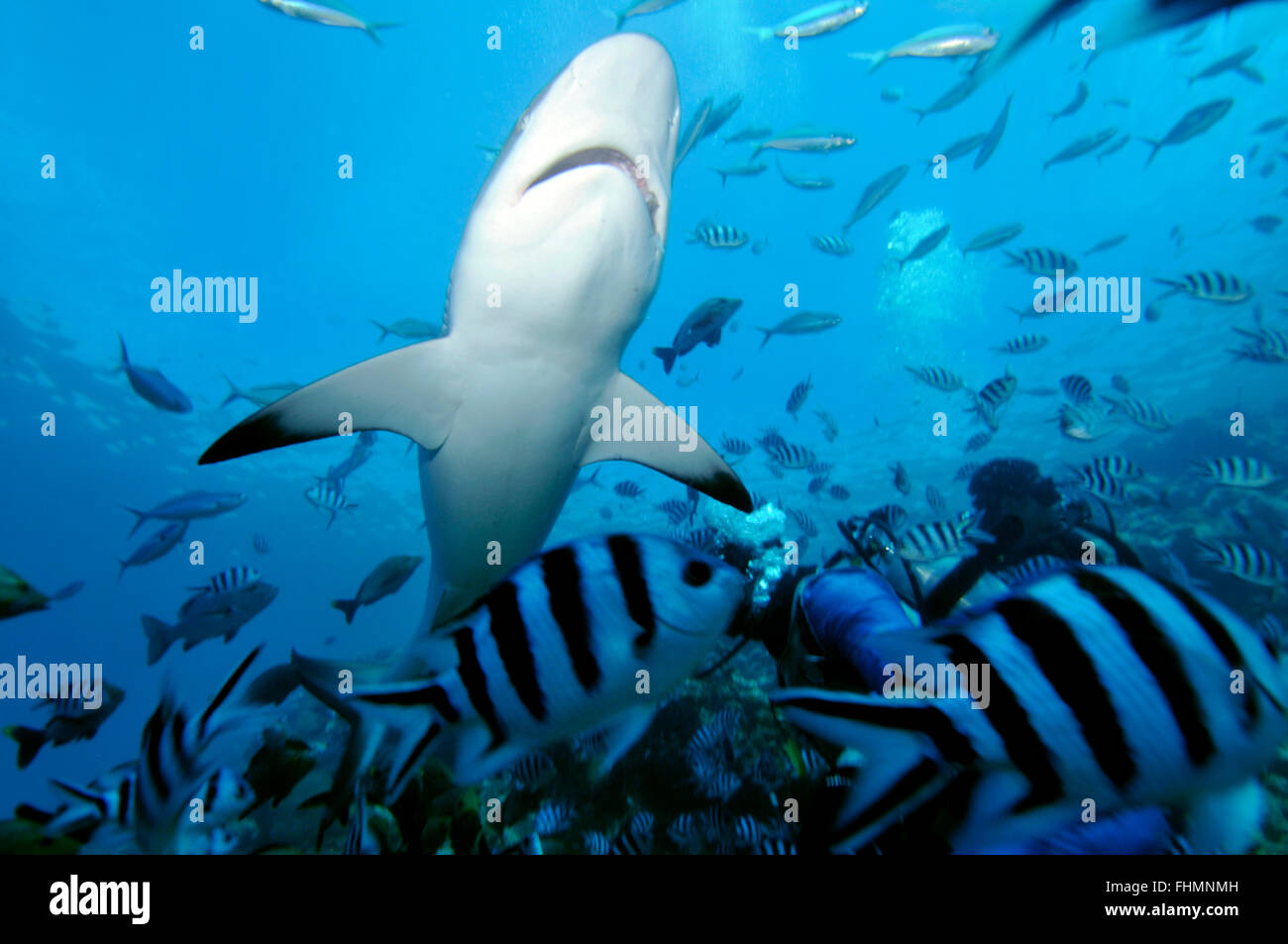 Silvertip shark, Carcharhinus albimarginatus, Beqa lagoon, Viti Levu,  Fiji, South Pacific - Stock Image