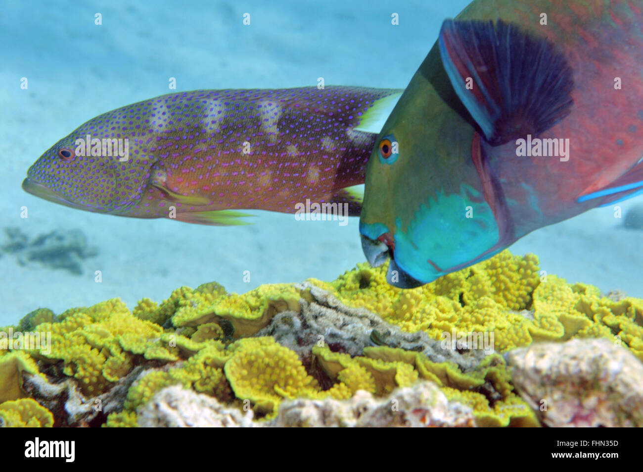Red Sea steephead parrotfish, Chlorurus gibbus,  and Yellow-edged lyretail grouper, Variola louti swimming in background, - Stock Image