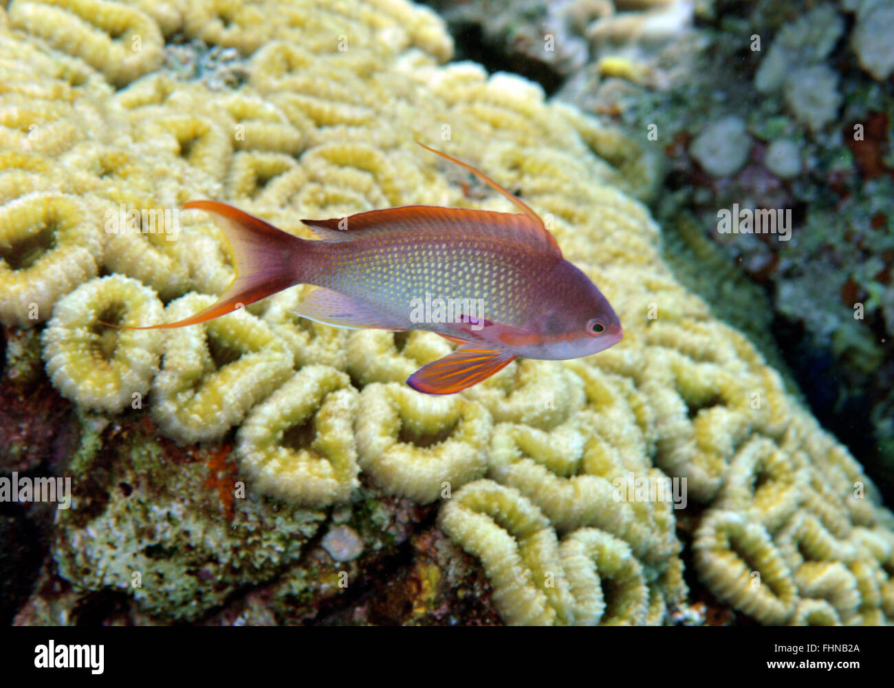 Male scalefin or lyretail anthias, Pseudanthias squamipinnis, and coral reef, Eilat, Israel, Red Sea - Stock Image