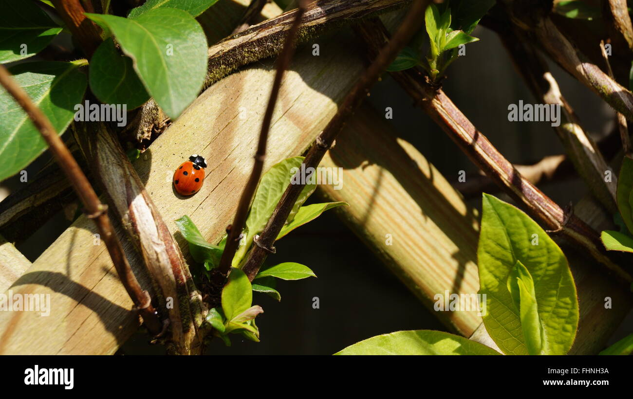 Ladybird on fence in amongst green plants Stock Photo