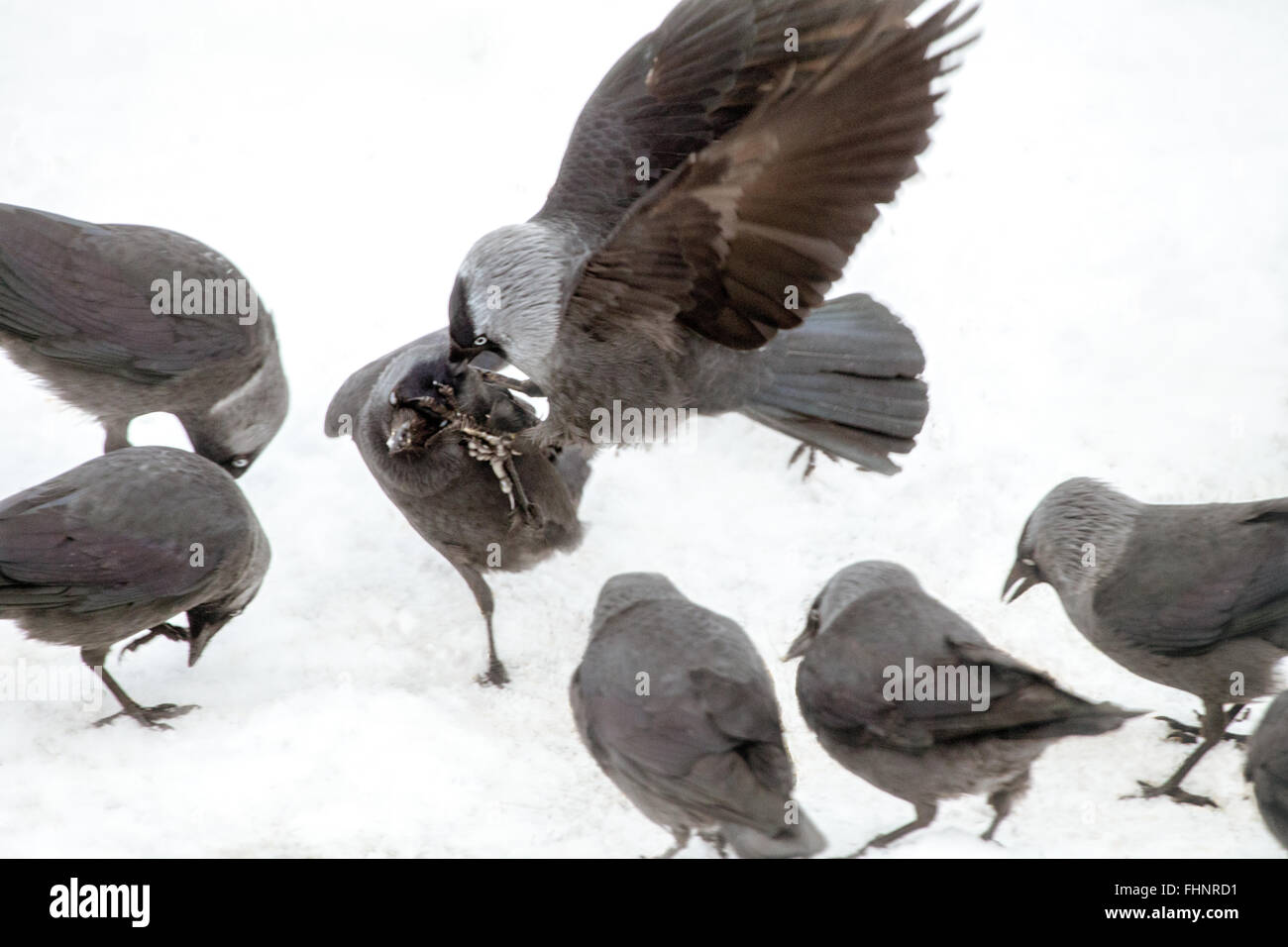 Jackdaw attacking a a rival Stock Photo