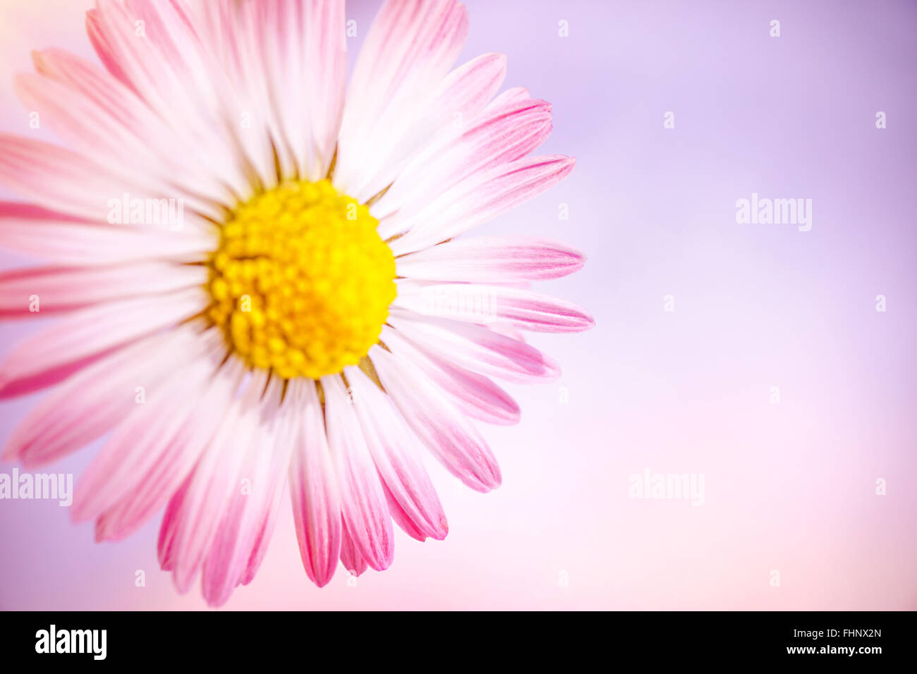 Closeup photo of beautiful gentle pink daisy flower over pink stock closeup photo of beautiful gentle pink daisy flower over pink background abstract floral border fresh greeting card for mother izmirmasajfo