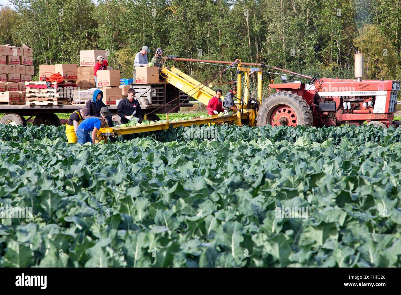 Farm workers harvesting cabbage 'Brassica oleracea', International Tractor pulling conveyor & trailer. - Stock Image