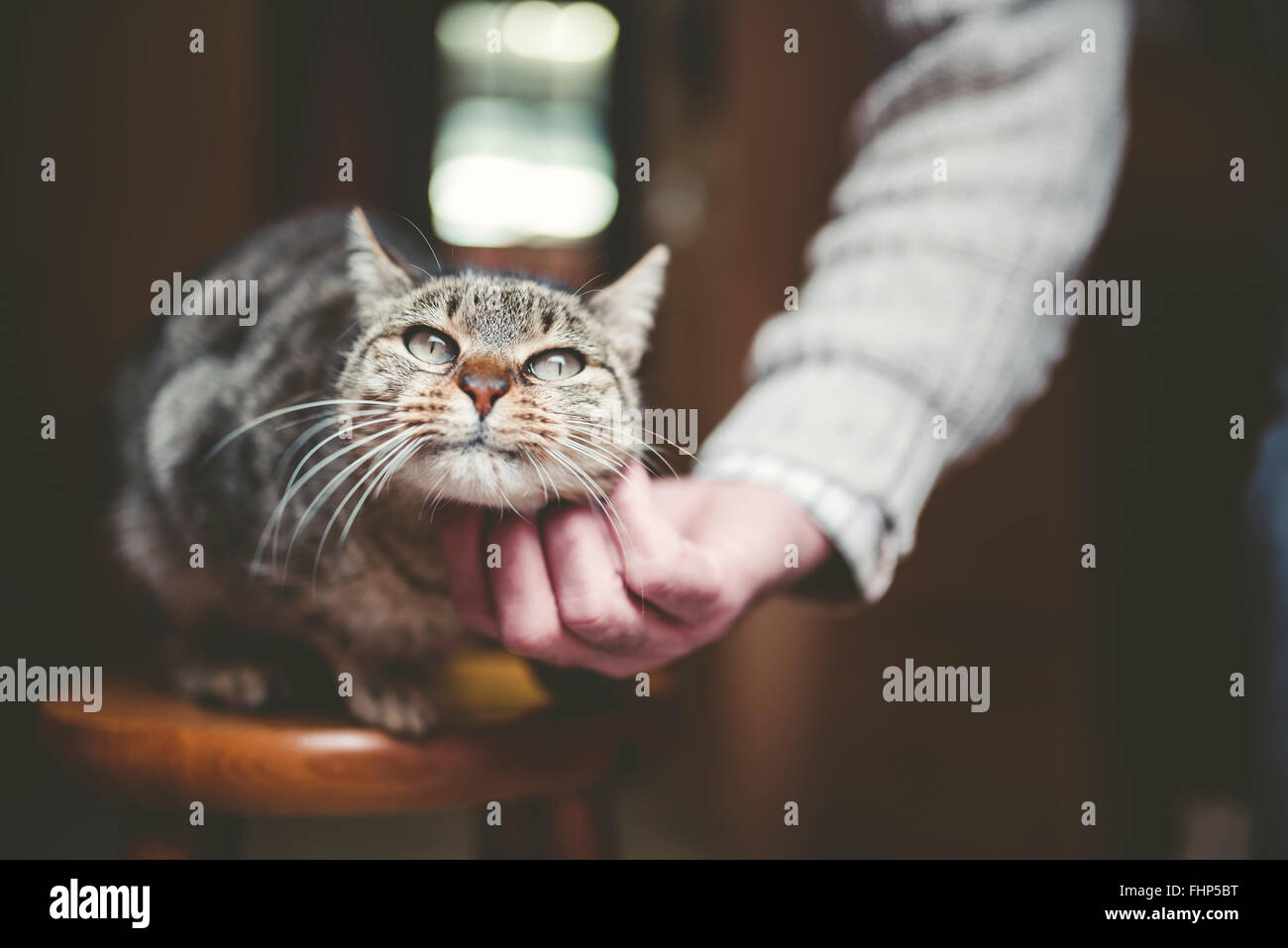 Man's hand stroking tabby cat - Stock Image