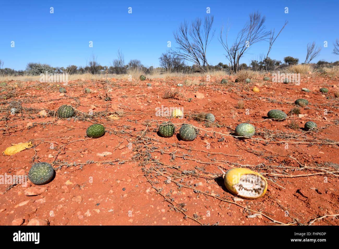 Paddy Melons (Cucumis myriocarpus), Northern Territory, Australia - Stock Image