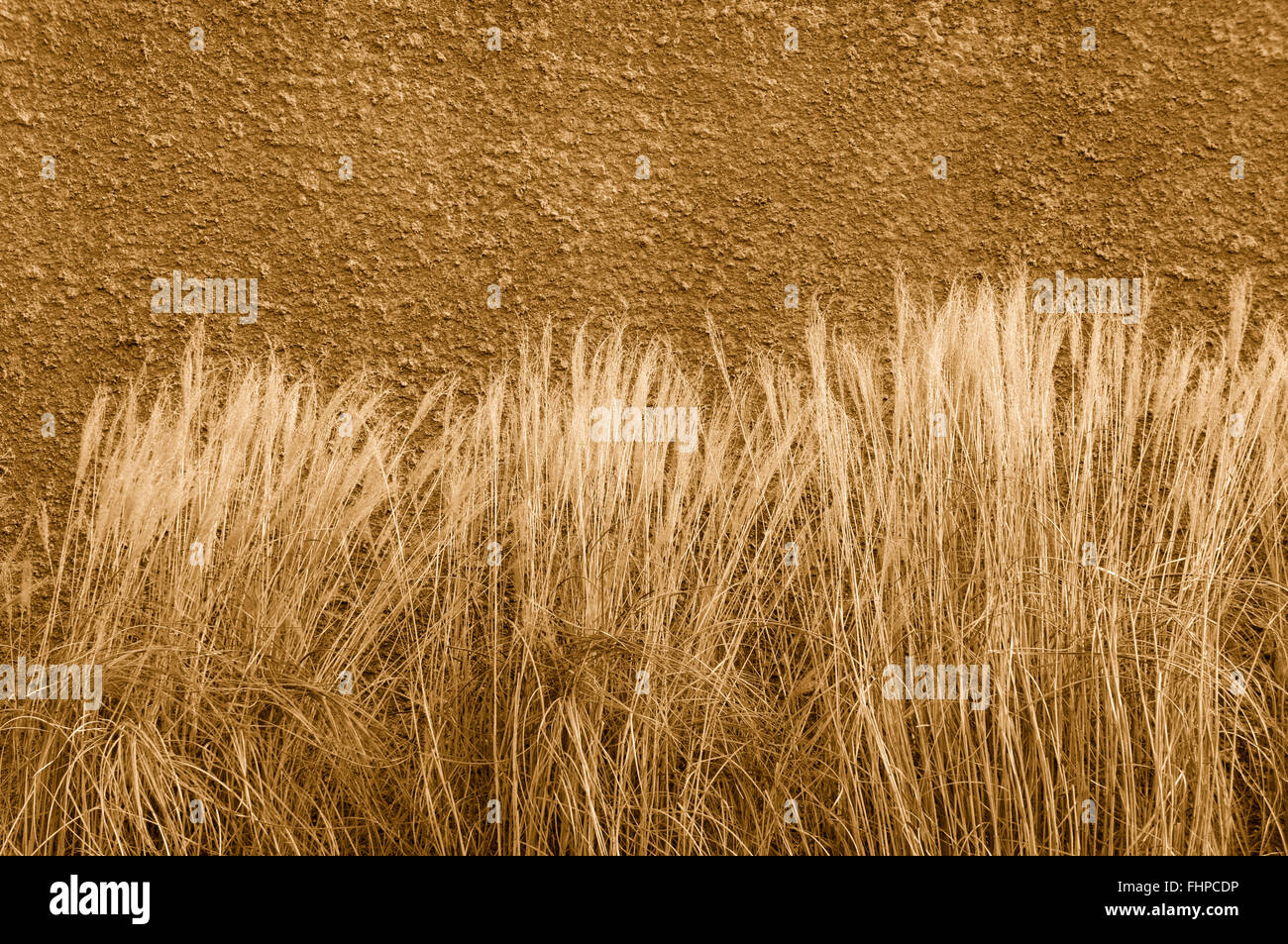 Wispy grass against a stucco wall in sepia - Stock Image