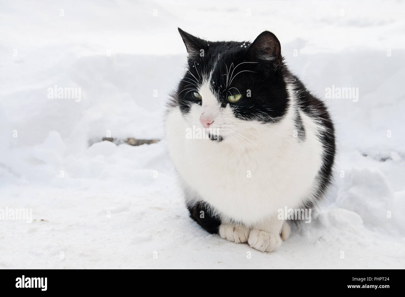 Cat In Snow Black And White Cute Staying Calm In The White Snow Stock Photo Alamy