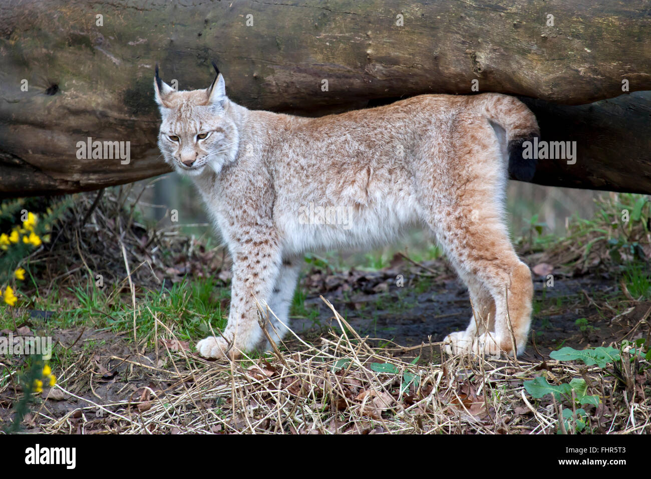 A single European Lynx standing by a fallen tree - Stock Image
