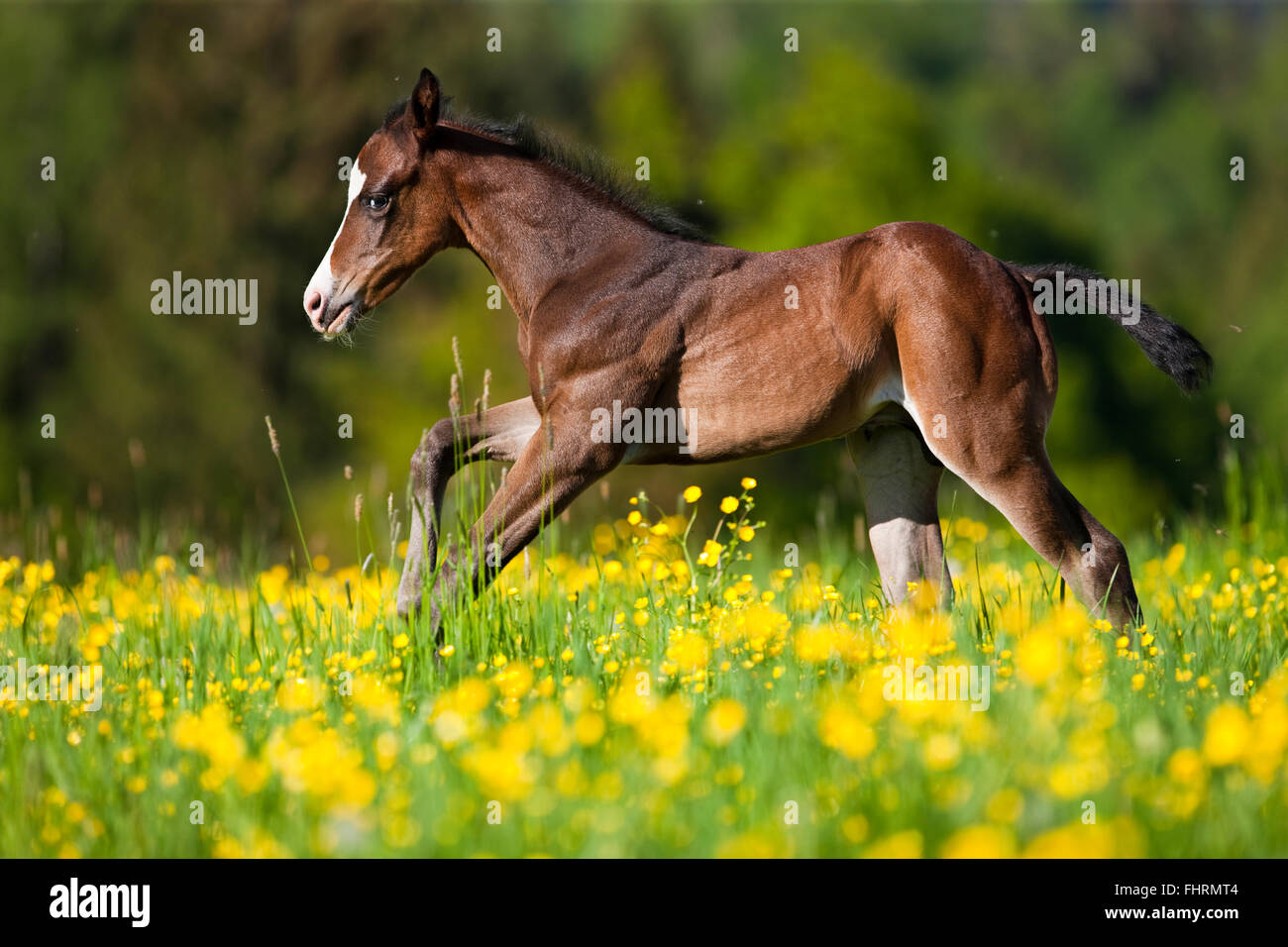Paint Horse, bay horse, foal galloping through flower meadow - Stock Image