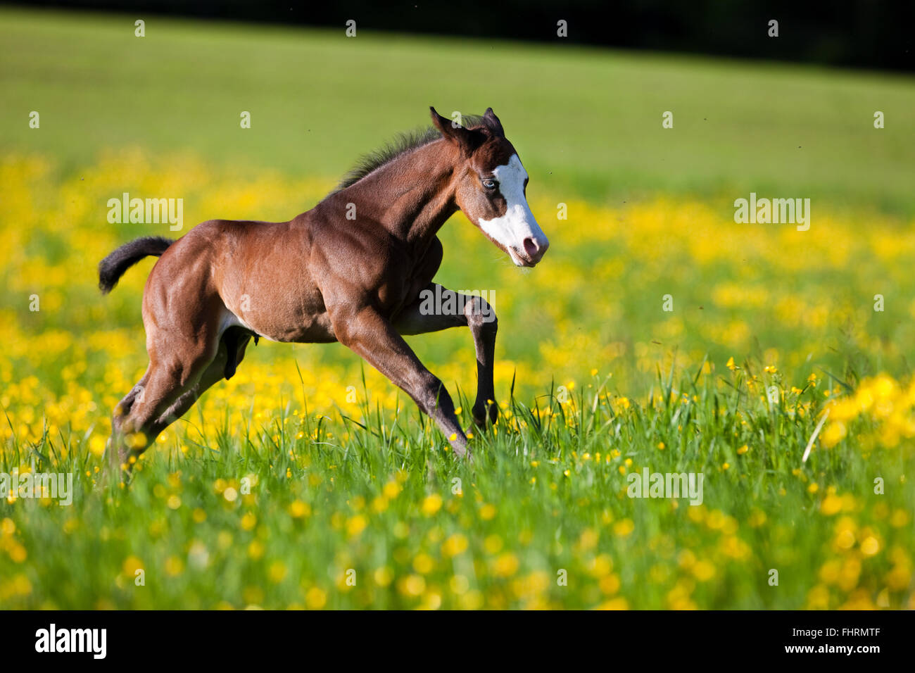 Paint Horse, bay horse, foal gallops through flower meadow - Stock Image