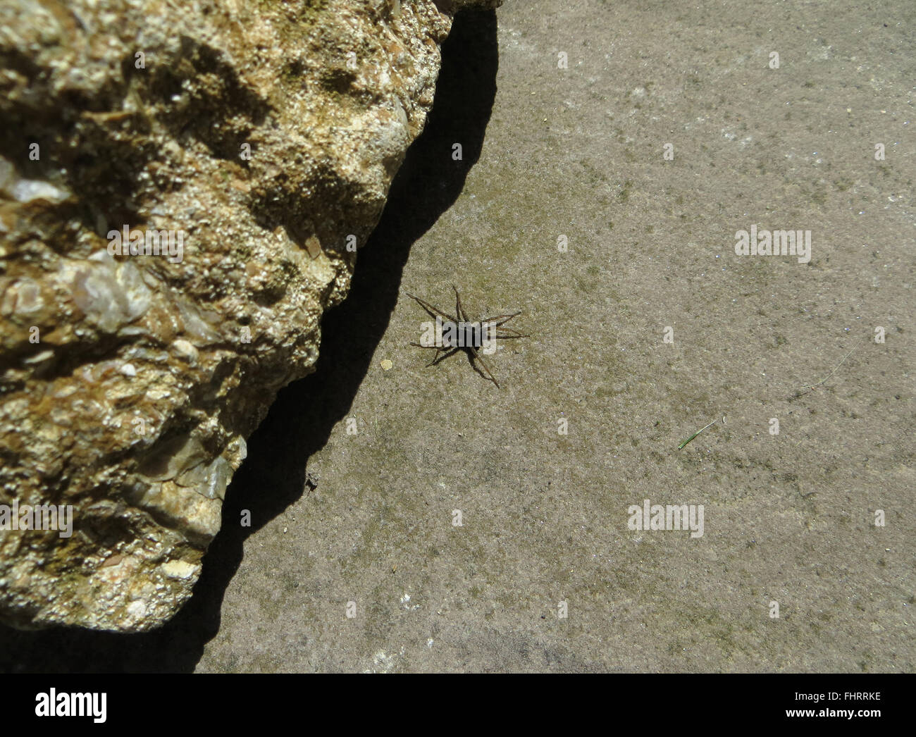 Spotted wolf spider (Pardosa amentata) on limestone paving stone by sandstone rock - Stock Image