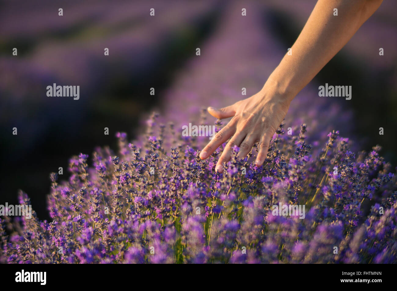 Female hand gently touching the tops of lavender bushes in bloom in a field of lavender. - Stock Image