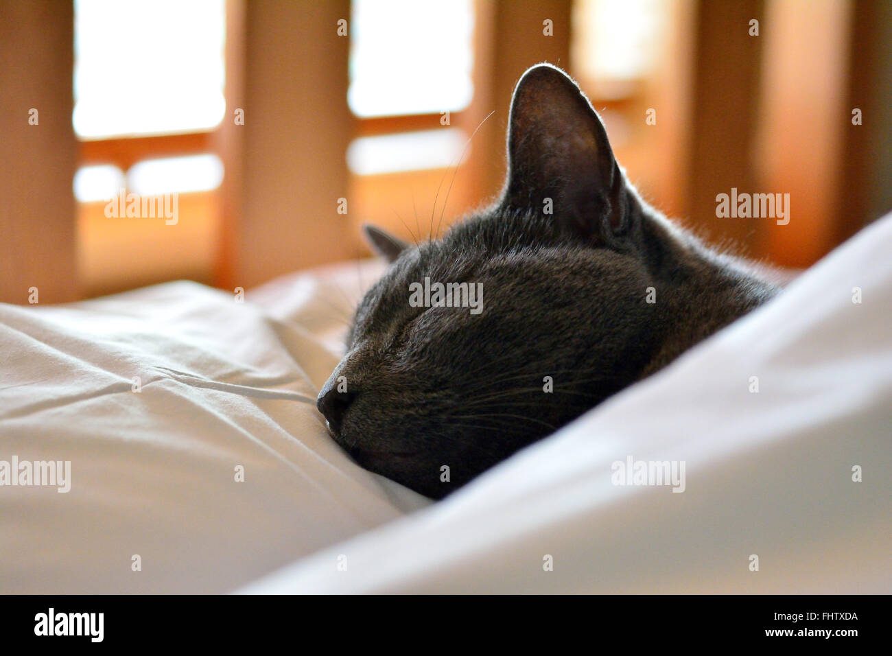 Cat sleeping in bed with head on pillow under duvet covering its body - Stock Image