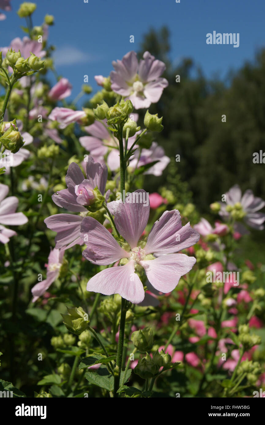 Lavatera thuringiaca, Garden tree-mallow Stock Photo